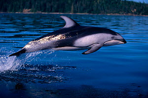 Pacific white sided dolphin leaping {Lagenorhynchus obliquidens} BC, Canada.  -  Brandon Cole