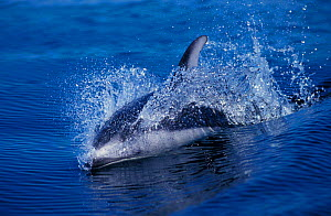 Pacific white sided dolphin {Lagenorhynchus obliquidens} British Columbia, Canada.  -  Brandon Cole