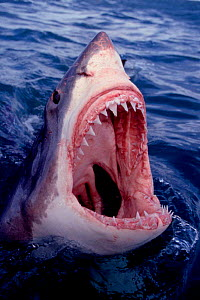 Great white shark at surface, mouth wide open {Carcharodon carcharias} Dyer Island, South Africa NOT FOR SALE IN THE USA  -  Brandon Cole