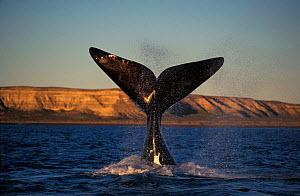 Southern right whale lob tailing {Balaena glacialis australis} Patagonia, Argentina. NOT FOR SALE IN THE USA - Brandon Cole