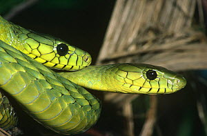 Two Western green mambas {Dendroaspis viridis} captive, found in West Africa  -  Rod Williams
