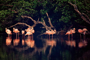 Greater flamingoes {Phoenicopterus ruber} Flroeana Is, Galapagos - Pete Oxford