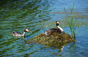 Great crested grebe brings nest material {Podiceps cristatus} UK - Martin H Smith