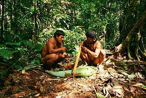 Huaorani Indians preparing curare poison for blow pipes Yasuni NP, Ecuador  -  JIM CLARE