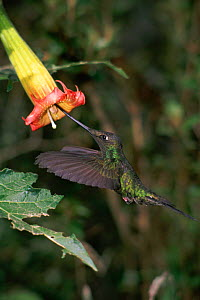Sword billed hummingbird {Ensifera ensifera} feeds from Datura flower. Andes, Ecuador - JIM CLARE