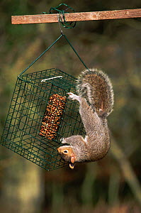 Grey squirrel on squirrel proof bird feeder {Sciurus carolinensis}  UK - Mike Read