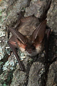 Grey long eared bat {Plecotus austriacus} resting on tree trunk, Germany - Dietmar Nill
