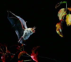 Bechstein bat in flight hunting at night {Myotis bechsteinii} Germany - Dietmar Nill