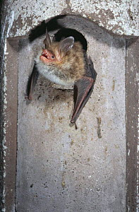 Bechstein bat emerging from hole {Myotis bechsteinii} Germany - Dietmar Nill