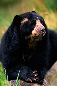 Spectacled bear {Tremarctos ornatus} Andes, South America - Pete Oxford