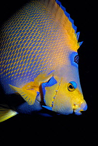 Queen angelfish portrait {Holacanthus ciliaris} Bahamas, Caribbean  -  Jeff Rotman