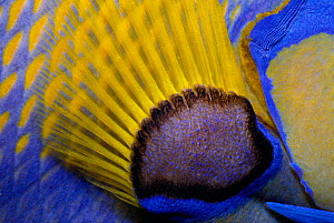 Queen angelfish close-up of pectoral fin {Holacanthus ciliaris} Bahamas, Caribbean  -  Jeff Rotman