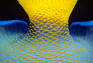 Queen angelfish close-up of tail base {Holacanthus ciliaris} Bahamas, Caribbean  -  Jeff Rotman