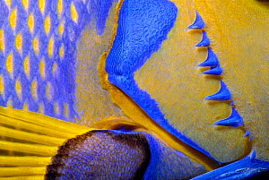 Queen angelfish close-up of gills and pectoral fin {Holacanthus ciliaris} Bahamas, Caribbean  -  Jeff Rotman
