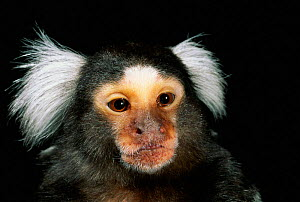 White eared marmoset {White Tufted-ear Marmoset} Brazil, South America  -  Pete Oxford