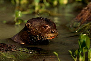 Giant otter in water {Pteronura brasiliensis} Pantanal, Brazil, South America  -  Pete Oxford