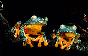 Two Leaf-frogs on branch {Agalychnis craspedopus} Amazon rainforest, Ecuador, South America - Pete Oxford