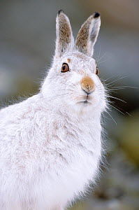 RF- Mountain hare in winter coat (Lepus timidus), Scotland, UK. (This image may be licensed either as rights managed or royalty free.)  -  Peter Cairns