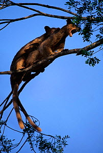 Fossas mating in tree {Cryptoprocta ferox} Western dry forest, Madagascar  -  Pete Oxford