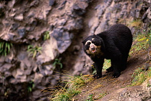 Spectacled bear {Tremarctos ornatus} Andes, Ecuador - Pete Oxford