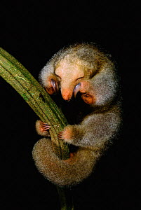 Pygmy anteater resting {Cyclopes didactylus} Guyana, South America. Note claws for climbing  -  Pete Oxford