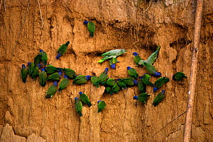 Mealy amazon parrots {Amazona farinosa} & Blue headed parrots {Pionus menstruus} at claylick to feed on minerals, Madre de Dios rainforest, Peru, South America  -  Pete Oxford