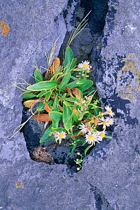 Sea aster {Tripolium pannonicum} growing in limestone fissure, The Burren NP, Co Clare, Eire  -  Tim Edwards