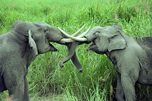 Male Indian elephants sparring (Elewphas maximus} Kaziranga National Park, Assam, India - Lockwood & Dattatri