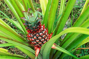 Pineapple plant with fruit {Ananas comosus}  Philippines  -  Martin Gabriel