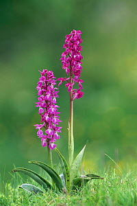 Early purple orchids {Orchis mascula} Peak District NP, Derbyshire Dales, UK - Geoff Scott-Simpson