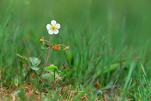 Wild strawberry plant in flower {Fragaria vesca} Derbyshire Dales, UK - Geoff Scott-Simpson