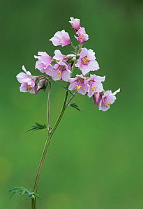 Jacobs ladder flower - pink form {Polemonium caeruleum}. Peak District, Derbyshire, UK - Geoff Scott-Simpson