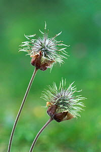 Water avens seedheads {Geum rivale}  Derbyshire, UK  -  Geoff Scott-Simpson