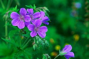 Wood crane's-bill {Geranium sylvaticum} flowering, Sweden  -  Bengt Lundberg