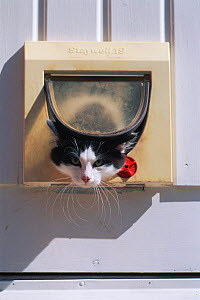 Domestic cat leaving house through cat flap. Sweden  -  Bengt Lundberg