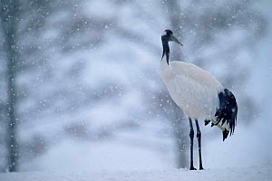 Japanese crane in snow {Grus japonensis} Hokkaido, Japan Feb/March  -  David Pike