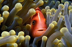 Pink anemonefish amongst anemone tentacles {Amphiprion perideraion} Yap, Micronesia  -  Michael Pitts