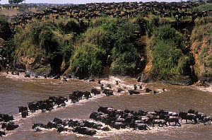 Herd of Wildebeest {Connochaetes taurinus} jumping into and crossing Mara River on migration, Masai Mara GR, Kenya  -  Anup Shah