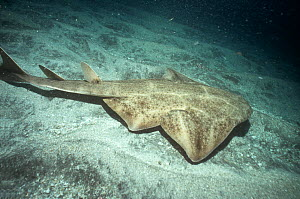 Angel shark {Squatina squatina} on seabed, Tenerife, Canary Is - Dan Burton