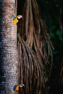 Blue and yellow macaws looking out of nestholes {Ara ararauna} in tree trunk, Tambopata reserve, Peru - Hermann Brehm