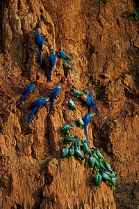 Mealy amazon parrots {Amazona farinosa}and Blue and yellow macaws {Ara ararauna} on clay lick, Tambopata reserve, Peru  -  Hermann Brehm