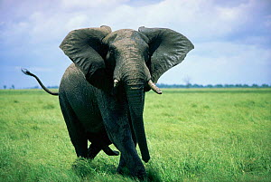 African elephant male in musth charging {Loxodonta africana} Botswana  -  Hermann Brehm