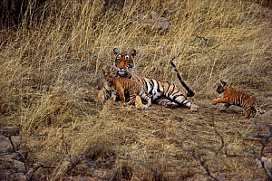 Tigress with cubs playing with her tail {Panthera tigris tigris} Ranthambore NP, Rajasthan, India. Noorjahan with 2 of 3 cubs. - Anup Shah