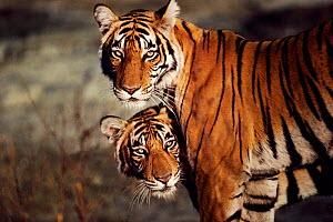 Tigress and cub portrait {Panthera tigris tigris} Ranthambhore NP Rajasthan India - Anup Shah