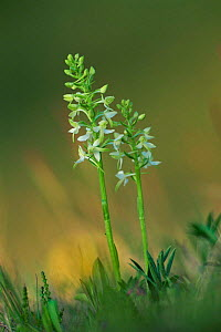 Lesser butterfly orchids {Platanthera bifolia} Speyside, Scotland, UK - Niall Benvie