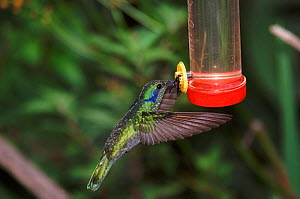 Green violet-ear hummingbird at feeder {Colibri thalassinus} Tandayapa, Ecuador, South America  -  Mike Read