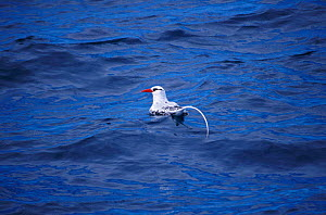 Red billed tropic bird on water {Phaethon aethereus} Galapagos - Mike Read