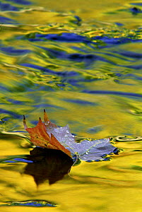 Fallen leaf on water with autumn reflections, Michigan USA  -  Larry Michael