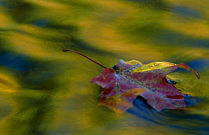 Fallen leaf on water with autumn reflections. Michigan USA  -  Larry Michael