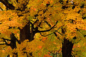 Autumn tree leaves abstract. Michigan USA  -  Larry Michael